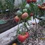 Помидоры Ранняя Любовь — ранний сорт, плоды крупные, сочные, ярко-розового цвета. Очень хорошо держат форму при нарезке. Мне очень понравились.  Производитель семян — «Самарские семена» Песчаная Глинка (г. Самара)