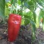 Воловье ухо. Неприхотливый урожайный сорт перцев конической формы, толщина стенки перцев 3-5 мм.  Производитель семян — агрофирма «Семена Алтая».