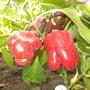 Перец Сорта Красный бык. На кусту по 4-6 плодов интересной формы, толстостенных, сочных и очень ароматных. Вес — до 400 граммов.  Производитель семян — «Самарские семена», Песчаная Глинка(г. Самара)