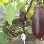 Баклажан Лорд — отличного качества вытянутой формы плоды с белоснежной мякотью универсального применения.  Производитель семян — НПО «Сады России».