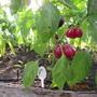 Раннеспелый перец сорта Ольга — очень интересной формы, предназначен для консервирования и фаршировки, многочисленные плоды ароматные.  Производитель семян — Седек.