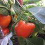 Оранжевое Чудо — кубовидные плоды темно-оранжевого цвета никого не оставят равнодушным. Душисты, сочны и невероятно вкусные.  Производитель семян — «Самарские семена» Песчаная Глинка (г. Самара)