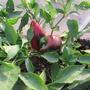 Раннеспелый полудетерминантный перчик Нафаня растёт «букетом» — кончики его плодов направлены вверх. Плоды на кончике приплюснуты и имеют форму шутовского колпака. Цвет красный. Биологической спелости достигает спустя 130 дней после посева. Вес плодов до 170 гр. Универсального назначения. Любителям экзотики рекомендую. Производитель семян — селекционно-семеноводческая фирма «Манул», г. Мытищи.