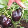 Перец болгарский Чёрный куб — толстостенные плоды кубовидной формы прекрасно вписываются как в заготовки, так и в свежие салаты. Очень интересный сорт. Производитель — «Семена Плазмас», ОО «Агроника», Санкт-Петербург.