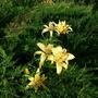 Лилии в можжевельнике
