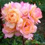 Румяная роза Лампион