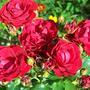 Роза флорибунда цветет букетами