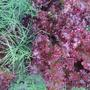 Салат украсит сад
