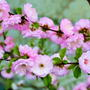 Луизеания --розовое чудо.
