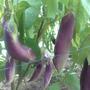 Чёрный Дракон. Очень урожайный. Плоды сначала похожи на зелёных дракончиков, а потом становятся фиолетовыми. Нежный вкус, без горечи. Среднего срока созревания.