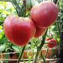 Розовое Бычье Сердце. Салатный сорт, с мясистой мякотью. Нежный вкус, не хранится. Плоды до 600 г. Высота 1,5 м.