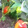 Сорт Аполлон F1. Раннеспелый гибрид. Растение полураскидистое, средней высоты. Лист среднего размера до крупного, зеленый, слабоморщинистый. Плод пониклый, конусовидный, сильноглянцевый, окраска в технической спелости желтоватая, в биологической — красная. Число гнезд 2-3. Масса плода 80 г, толщина стенки 6 мм.