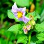 Картошкин цветок