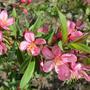 Розовое благоуханье миндаля