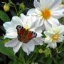 Бабочка-цветок