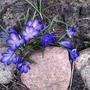 Это Весны настоящие фокусы - из-под камней рвутся милые крокусы!