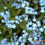 Есть в России цветы незабудки - голубые, как небо, глаза...