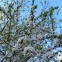 Бело-розовый снег на ветвях - это вишня цветёт в наших милых краях!