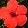 Комнатный гибискус или китайская роза - цветок прекрасных дам