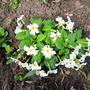 Сегодня, 17 апреля, расцвела моя скромная примула - Весна пришла!