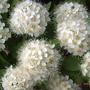 Нет! Это не зефир! Это цветёт мелкоплодный боярышник!