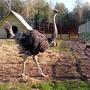 Как вам птичка - русский страус?