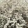 Сливовый  снег