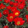 Классные тюльпаны красные!