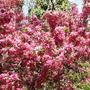 Яблонька в цвету, какое чудо !