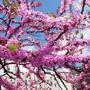 Весной  даже  палки  цветут .