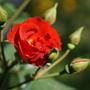Алой розы красота...