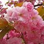 Розовые рюши