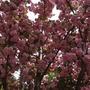 Сакуры в цвету - какое чудо!
