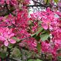 Цветет райская яблонька