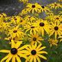 Солнечные цветы - рудбекия