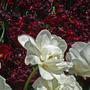 Тюльпаны, словно - пионы