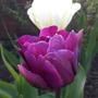 Пурпурный красавец