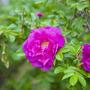 Очень красивые цветы шиповника