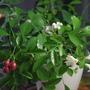 Цветы и плоды муррайи