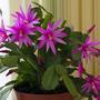 Декабрист цветёт 3 раза в год