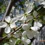 Расцвела под окном белоснежная вишня