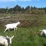Козы и еще кое-что важное о козах