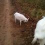 Нигерийский карлик, боязнь и козы