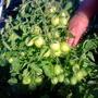 Томат Комнатный сюрприз. Растение низкорослое, до 50-70 см высотой. Очень урожайный сорт!!!Суперранний, не требует подвязки и пасынкования. Можно выращивать на балконе, на подоконнике, для уплотнённых посадок в открытом грунте. Плоды сливовидные, красные, крепкие, вкусные, не крупные. Отдача урожая дружная.
