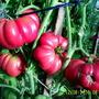 Помидоры Гибрид Глобус F1. (но возможно, что это помидоры Гибрид Маэстро F1). Очень понравился и по урожайности, и по вкусовым качествам.