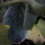 Огурдыня Мандурия (гибрид дыни и огурца). Выросла она у меня под временным плёночным укрытием, рядом с огурцами. Было мало плодов. Возможно, что эту культуру надо выращивать в теплице или парнике. Вкус огурца. Хрустящий, крепкий плод. В технической зрелости — тёмно-зелёный. Заявлено на упаковке, что при полной зрелости появляется вкус и аромат дыни (мне не пришлось попробовать). Не болеет, как огурцы. Поливать надо 1 раз в неделю. Плодоносит до самых заморозков, хранится хорошо.