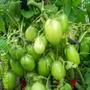 Томат Комнатный сюрприз. Растение низкорослое, до 50-70 см высотой. Очень урожайный сорт!!! Суперранний, не требует подвязки и пасынкования. Можно выращивать на балконе, на подоконнике, для уплотнённых посадок в открытом грунте. Плоды сливовидные, красные, крепкие, вкусные, не крупные. Отдача урожая дружная.