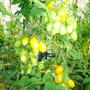 Помидоры Гибрид Черри Лиза F1. ОЧЕНЬ понравился сорт! Урожайный, желтоплодный, вкус сладкий, помидорки не крупные, крепкие, величиной с некрупную сливу. Куст высокорослый, более 2-х метров в парнике.