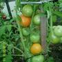 Помидоры Гибрид Золотая тёща F1. Насыщенные, красивые плоды оранжевого цвета. Сорт ОЧЕНЬ урожайный. Помидоры вкусные, сладкие, ароматные. Рост не ограничивала, формировала куст из 3 стволов. Высота куста до 1,5 метров.