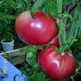 Помидоры Гибрид Глобус F1. Малиновые крупные шары. Мясистые, вкусные. Урожайность отличная. Долго плодоносят и крепко висят на ветках. Куст высокорослый, более 2-х метров в парнике.